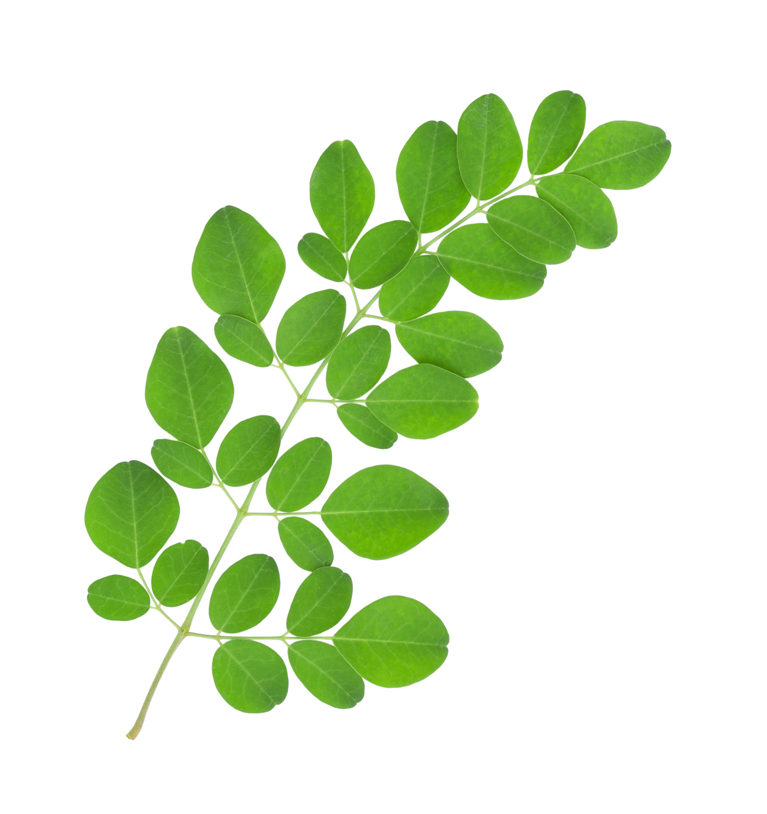 2015 Certified Organic Moringa for Export