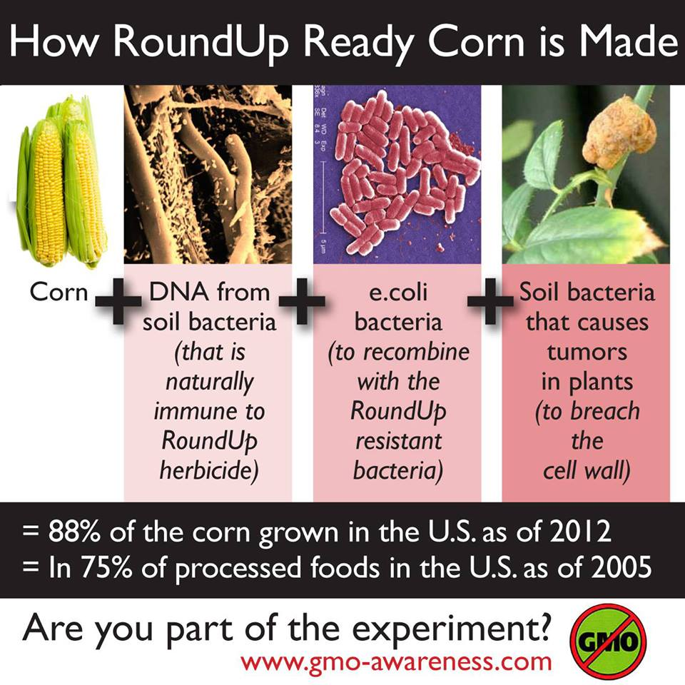 How to Make GMO Corn