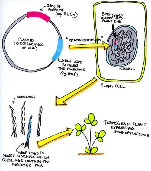 How to Make a Transgenic Plant