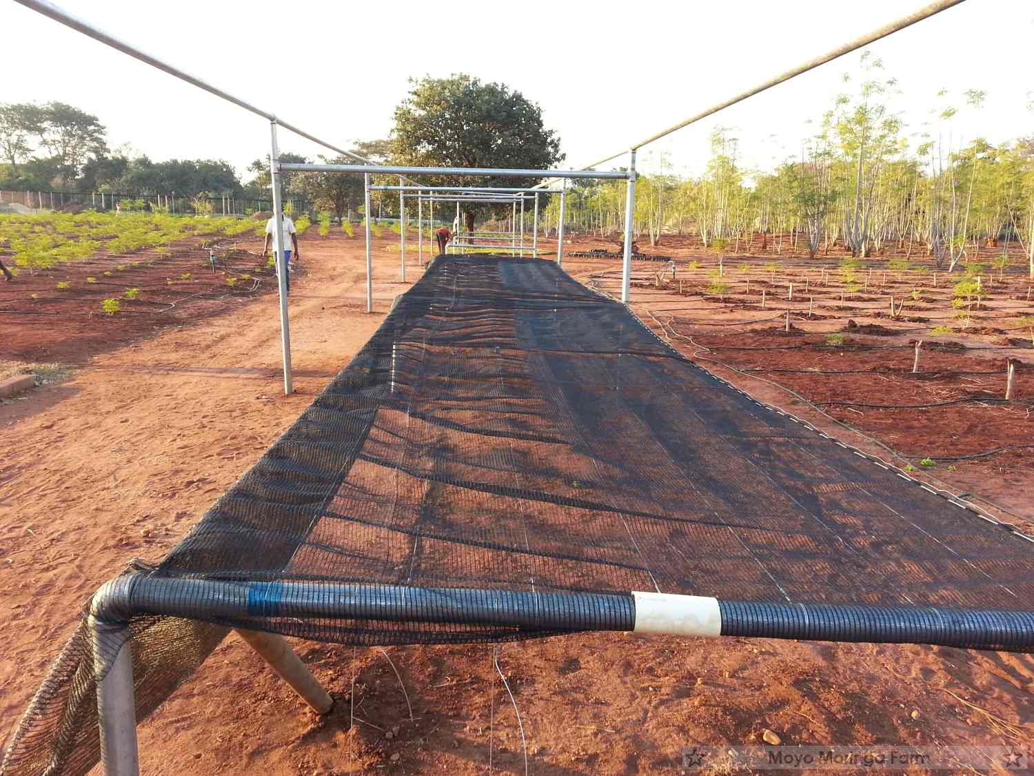 Moringa Drying Net