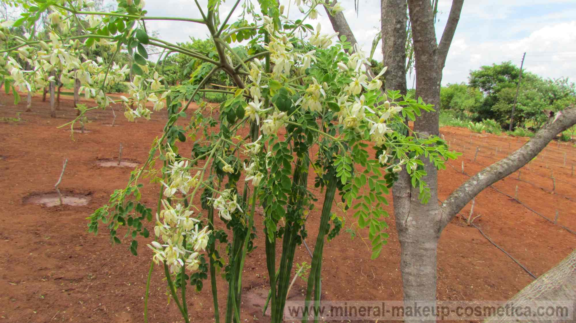 moringa farming We offer organic moringa capsules, moringa powder, moringa tea, moringa oil, moringa body butter, moringa lip balm and other moringa products.