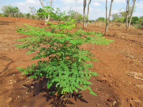 Moringa Natural Products Treeling