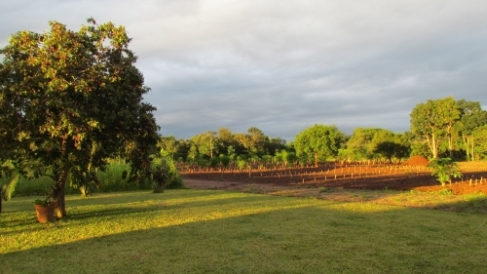 Moringa Orchid After the Rains with all the Truncheons Planted