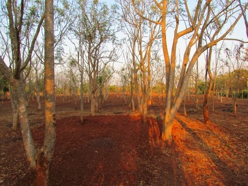 Typical Moringa Garden