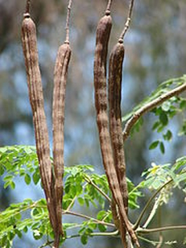 Moringa Oleifera Pods or Chicken Legs