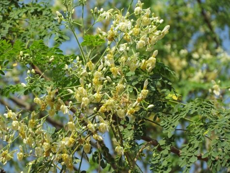 Natural Health Moringa Blossoms