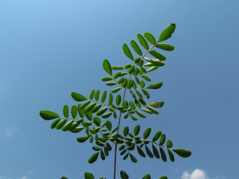 Natural Health Moringa Leaf