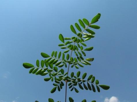 Natural Health Moringa Leaf