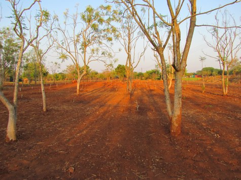 Moringa Farm Sunrise