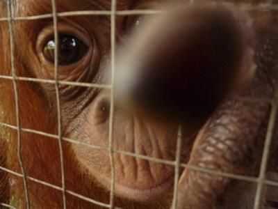 By checking before you buy, this orangutan may have a life