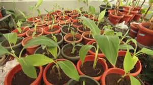 GM Banana Trials in Uganda