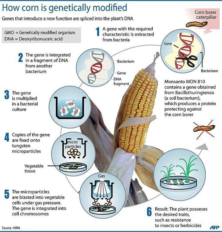 How to Make GMO Corn