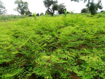 Moringa Intensive Cultivation (Image courtesy of www.amandla-africa.org)