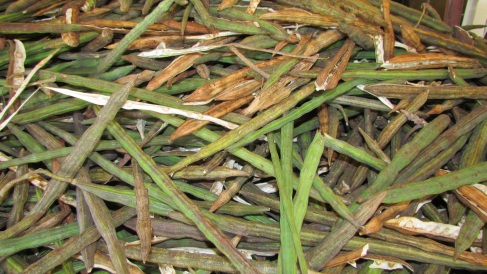 Moringa Pods after Harvest and Stacked for Sorting