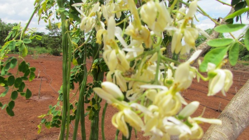 Moringa Pods and Blossoms
