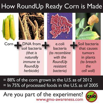 How GMO Corn / Maize is Made